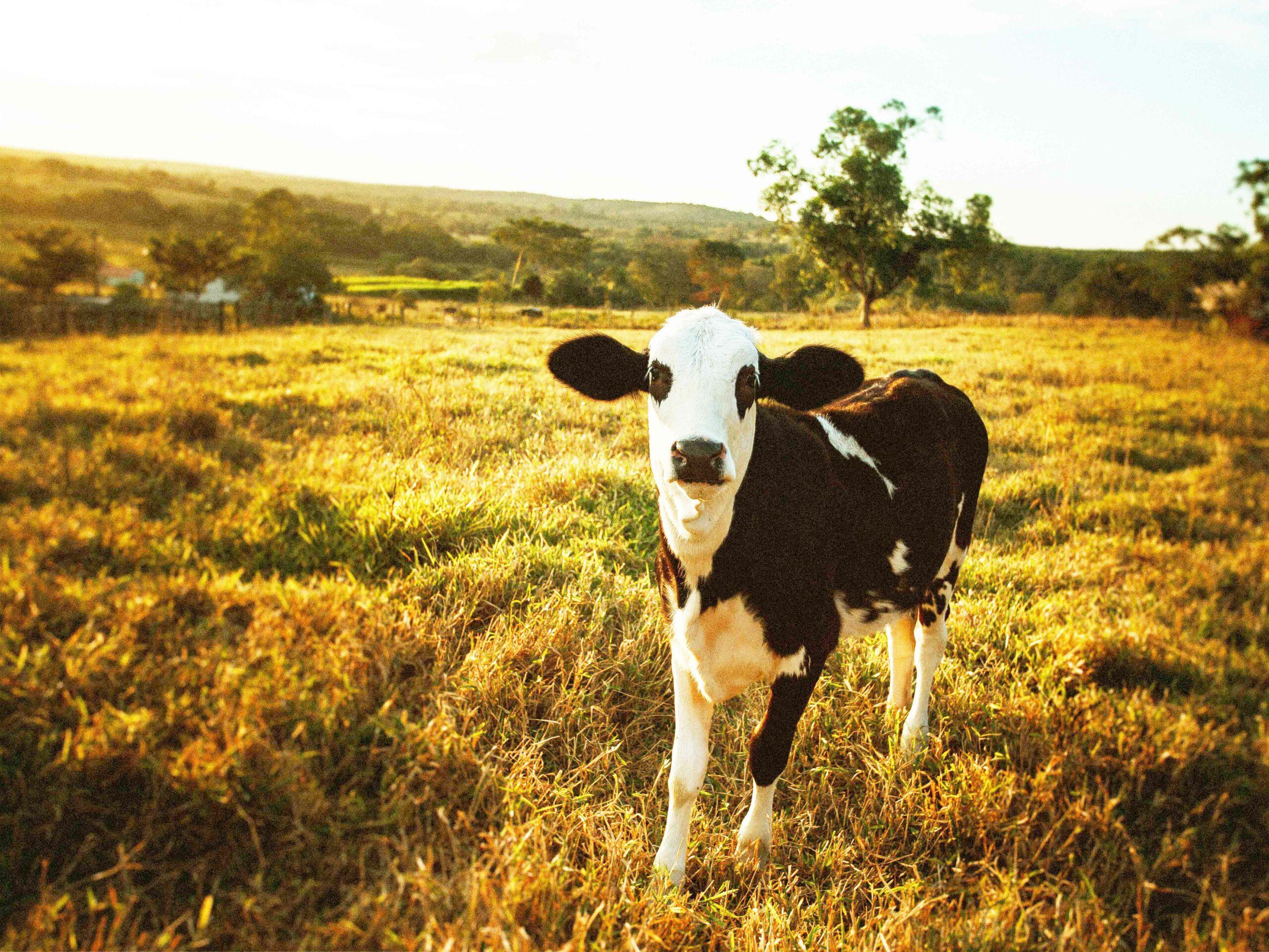 Une vache bretonne